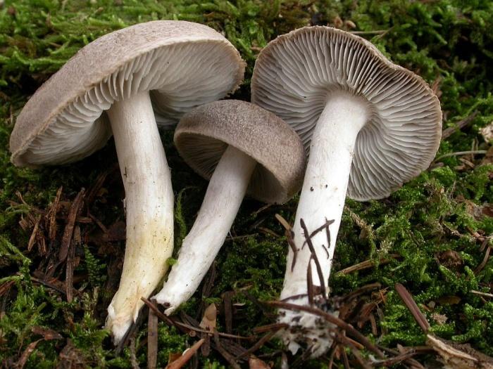 Tricholoma myomyces (Pers.: Fr.) Lange novembre 03