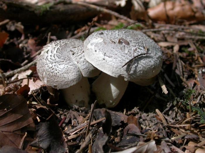 Tricholoma pardolotum (Pers.) Quél. (pardinum auct.)  octobre 03