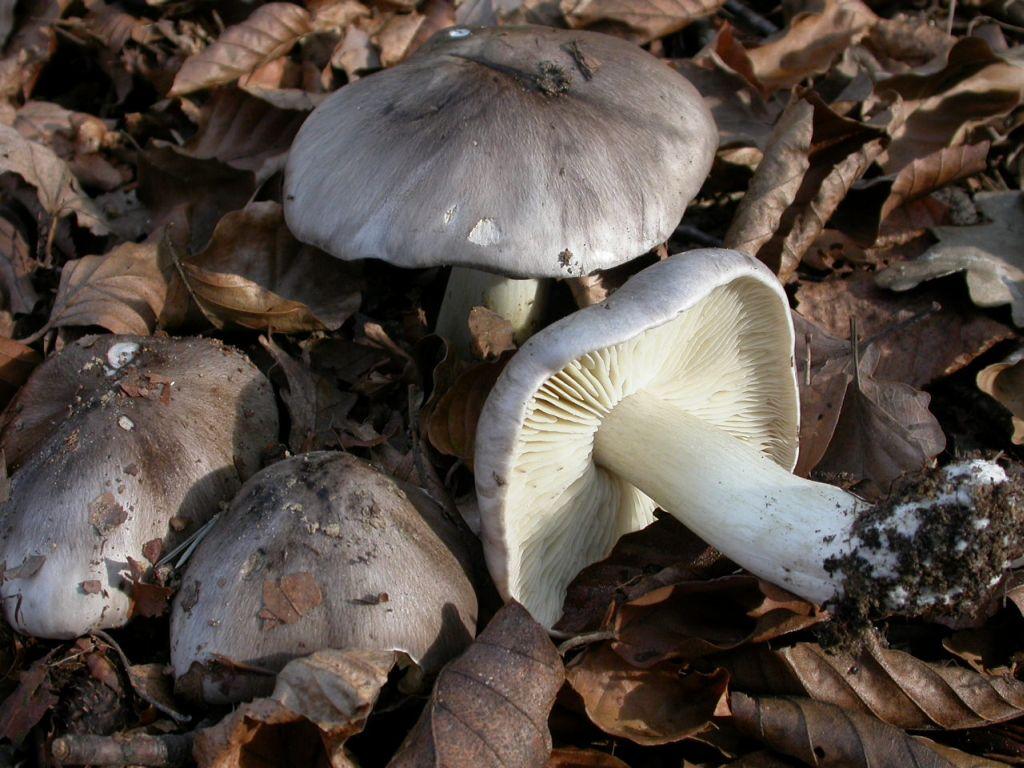 Tricholoma portentosum (Fr.: Fr.) Quél. octobre 03