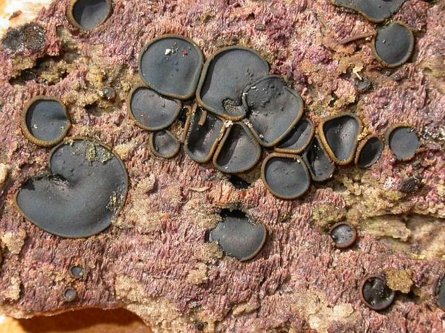 Catinella olivacea (Batsch ex Pers.) Boud. photo Gilbert Bovay août 05