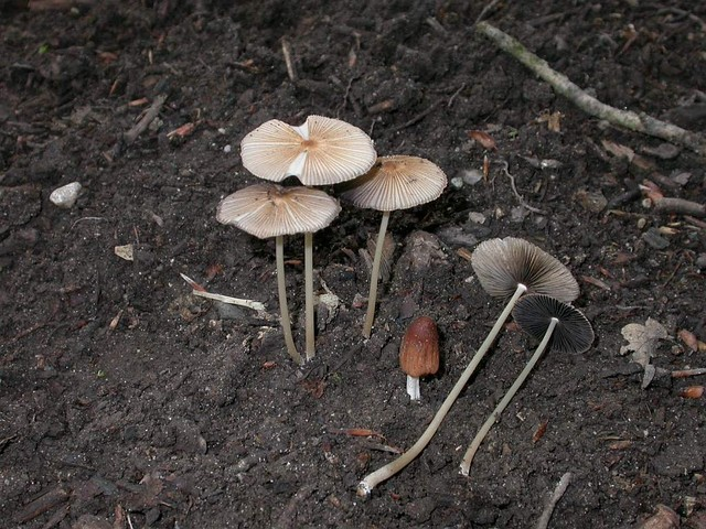 Coprinus auricomus Pat. ES - juillet 05