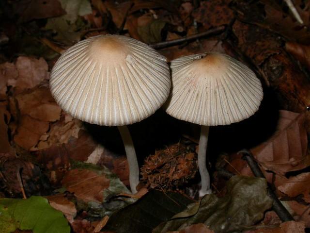 Coprinus leiocephalus P.D. Ort. ES - octobre 05