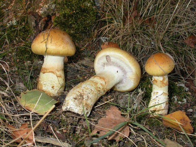 Cortinarius triumphans  Fr.