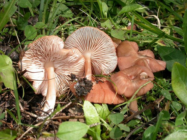Entoloma roseum (Longyear) Hes. ES - août 05