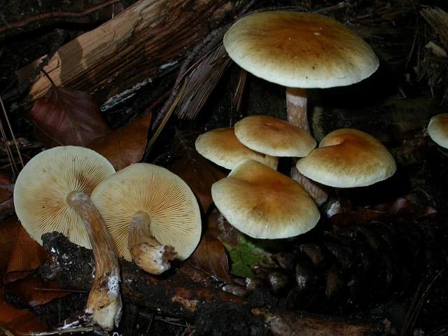 Gymnopilus penetrans (Fr.) Murr. ES - octobre 05