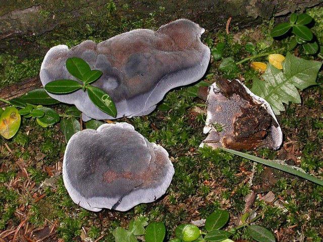 Hydnellum caeruleum (Horn.: Fr.) P. Karst. photo Gilbert Bovay août 05