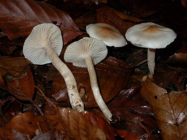 Hygrophorus unicolor Gröger ES - novembre 05