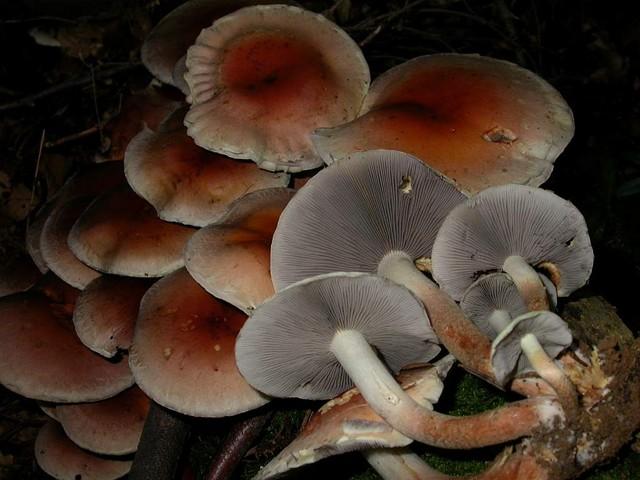 Hypholoma sublateritium (Fr.) Quél. ES - octobre 05