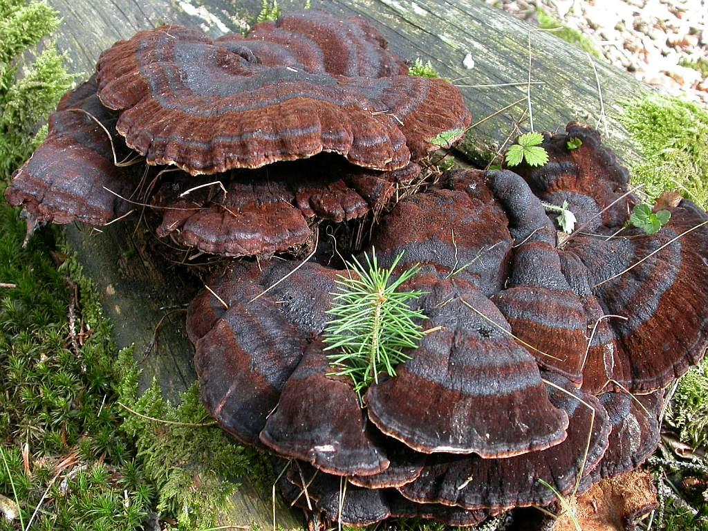 Ischnoderma benzoinum (Wahl.: Fr.) Karst ES - septembre 05