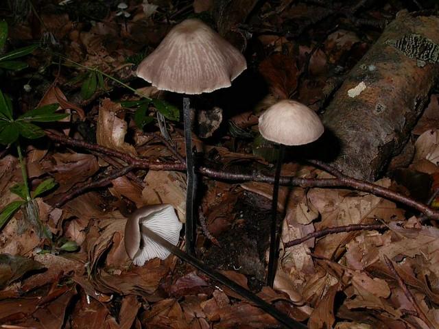 Marasmius alliaceus (Jacqu.: Fr.) Fr. ES - octobre 05
