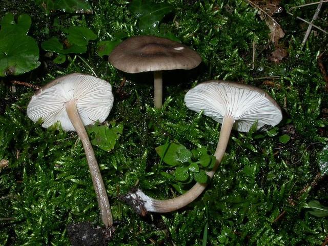 Melanoleuca graminicola Küh & Maire ES - octobre 05