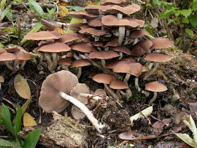 Psathyrella piluliformis (Bull.: Fr.) Orton ES - novembre 05