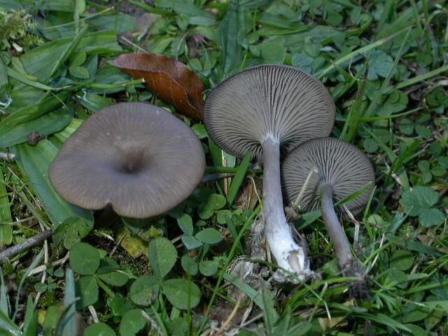Pseudoclitocybe expallens (Pers.: Fr.) ES - octobre 05