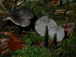 Tephrocybe rancida