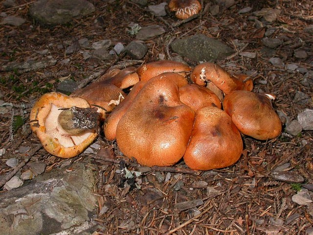 Tricholoma aurantium