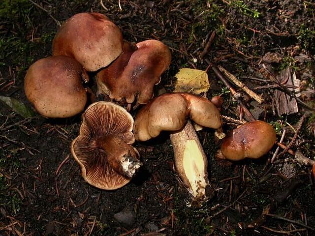 Tricholoma pseudonictitans Bon ES - septembre 05