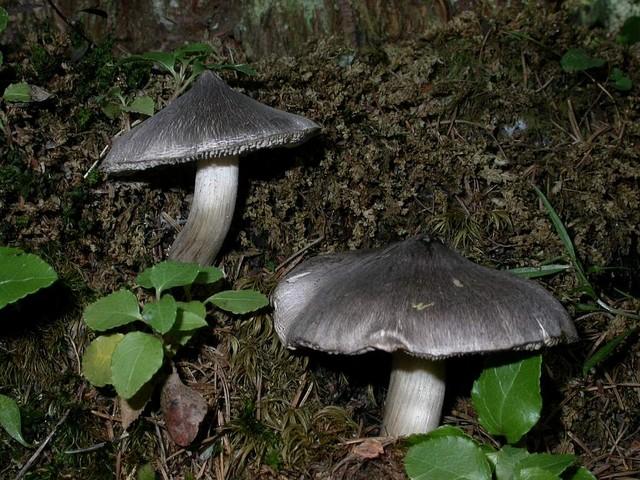 Tricholoma virgatum (Fr.: Fr.) Kumm. ES - août 05