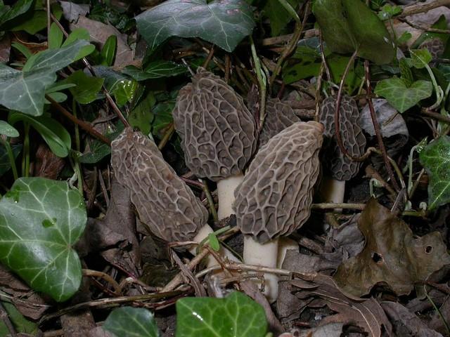 Morchella esculenta var. vulgaris Pers. ex St-Amans var.vulgaris Pers. ES - avril 05