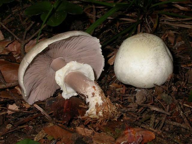 Agaricus silvicola (Vitt.) Sacc. ES - octobre 06