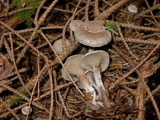 Clitocybe ditopa (Pers.: Fr.) Fr. ES - septembre 06