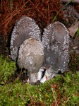 Coprinus lagopides
