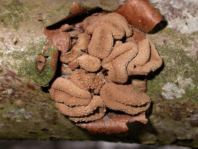 Encoelia furfuracea (Roth ex Pers.) Karst. photo Gilbert Bovay février 06