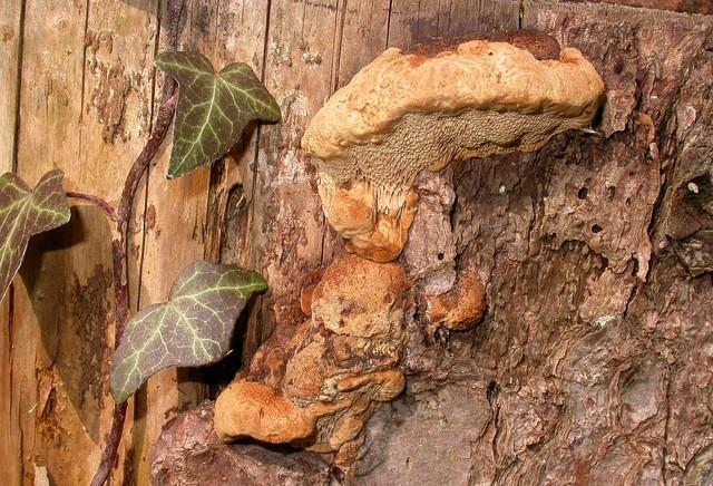 Gloeophyllum odoratum (Wulf.: Fr.) Imaz. photo Gilbert Bovay mars 06