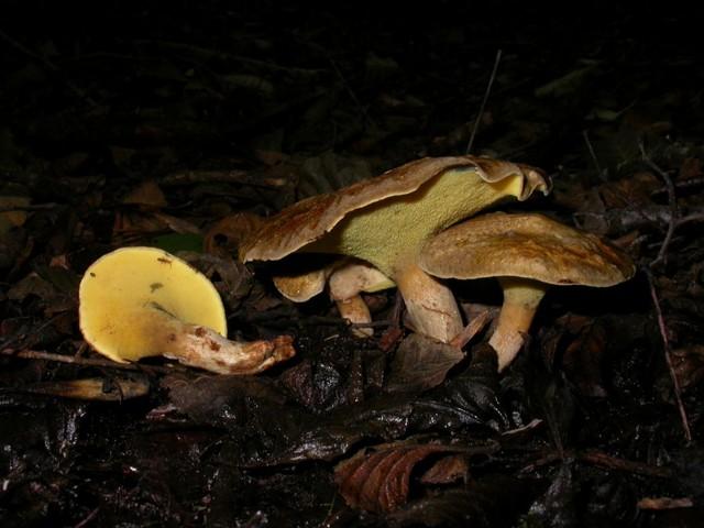 Gyrodon lividus (Bull.: Fr.) P. Karst. photo Gilbert Bovay octobre 06