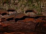 Hymenochaete rubiginosa (Dicks.: Fr.) Lév. photo Gilbert Bovay février 06