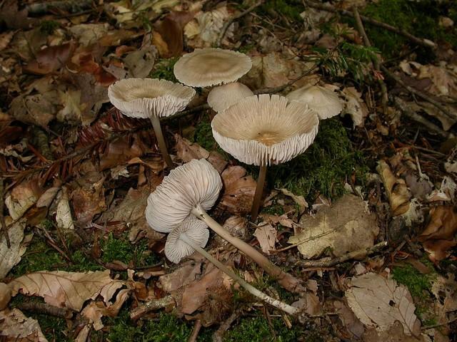 Mycena galericulata (Scop.: Fr.) S.F. Gray ES - septembre 06
