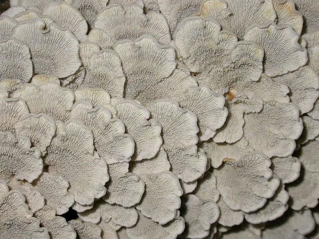 Plicaturopsis crispa (Pers.: Fr.) Reid. photo Gilbert Bovay mars 06