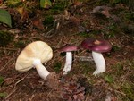 Russula caerulea