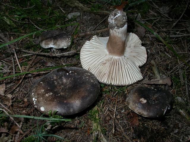 Russula nigricans Fr. ES - septembre 06