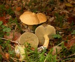 Suillus bovinus