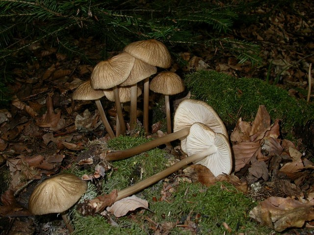 Oudemansiella radicata (Relh.:Fr.) Sing. ES - septembre 06