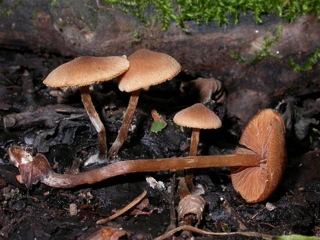 Alnicola melinoides (Bull.: Fr.) Kühner photo Gilbert Bovay octobre 07