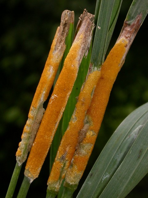 Epichloe typhina (Pers. ex Fr.) Tul. photo Gilbert Bovay juin 07