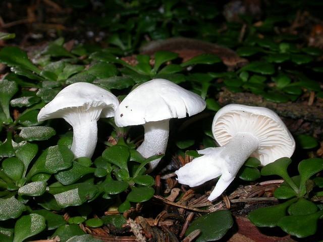 Hygrophorus piceae Kühn. photo Gilbert Bovay août 07