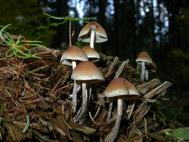 Hypholoma marginatum (Pers.: Fr.) Schroet. ES - octobre 07