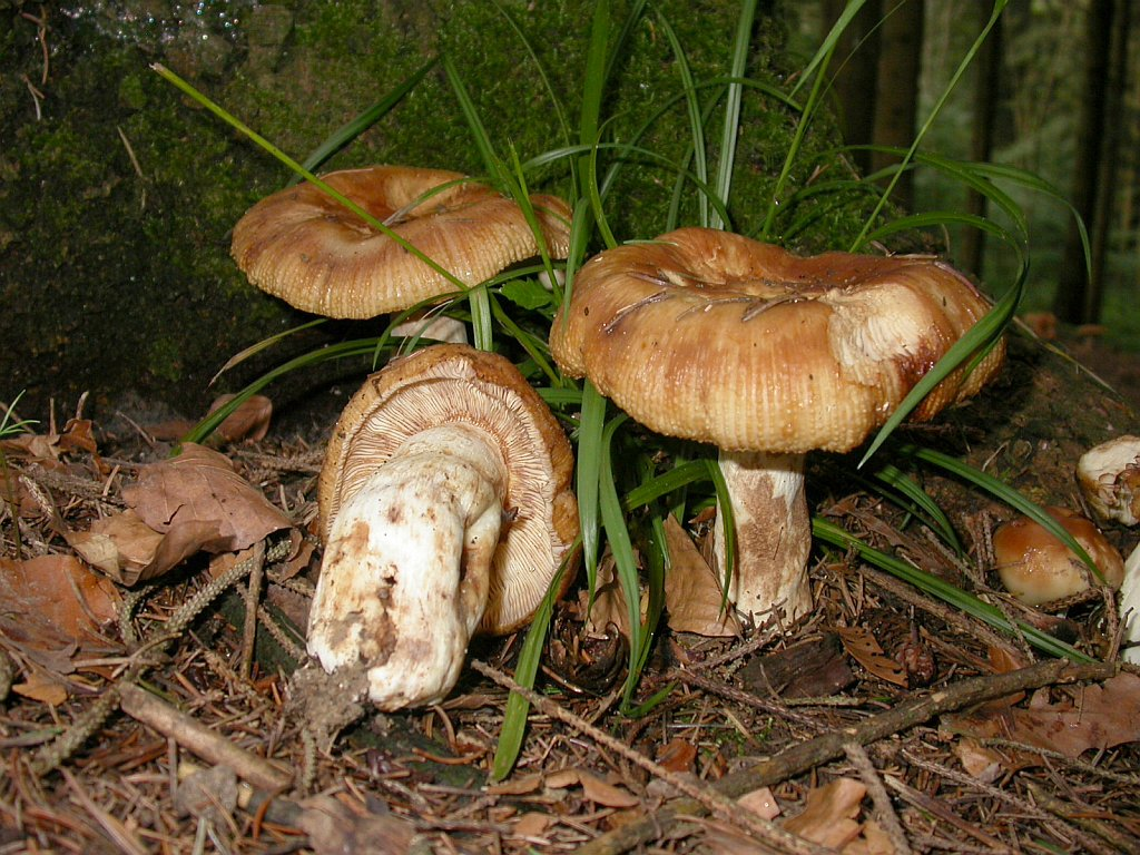 Russula foetens