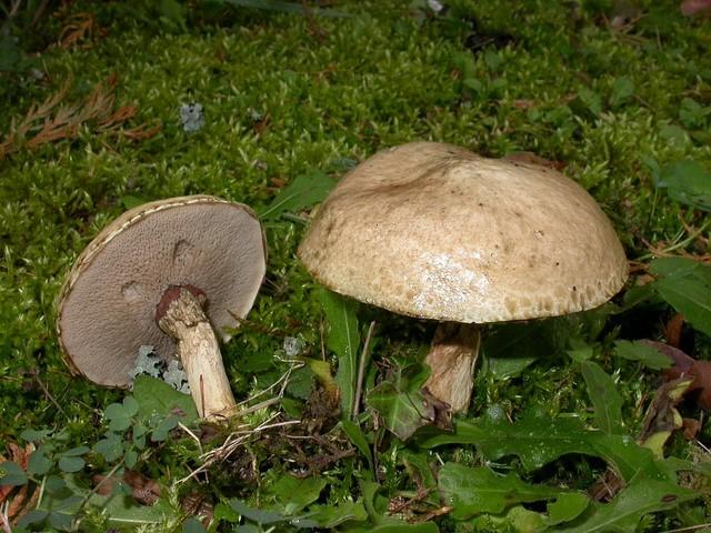 Suillus viscidus (L.) Roussel photo Gilbert Bovay octobre 07